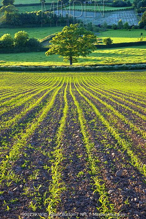 Rows of planted arable crop with Tree near Morchard Bishop, Crediton, Devon, England  -  Adam Burton/ npl
