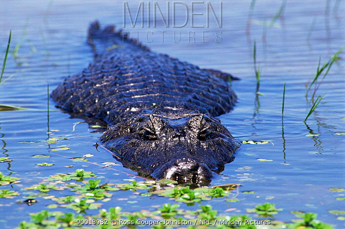 Caiman submerged in lagoon (Caiman sp) Ibera Marshes, Argentina  -  Ross Couper-Johnston/ npl