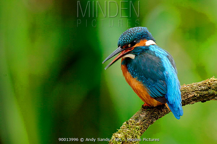 Common Kingfisher (Alcedo atthis), United Kingdom  -  Andy Sands/ npl