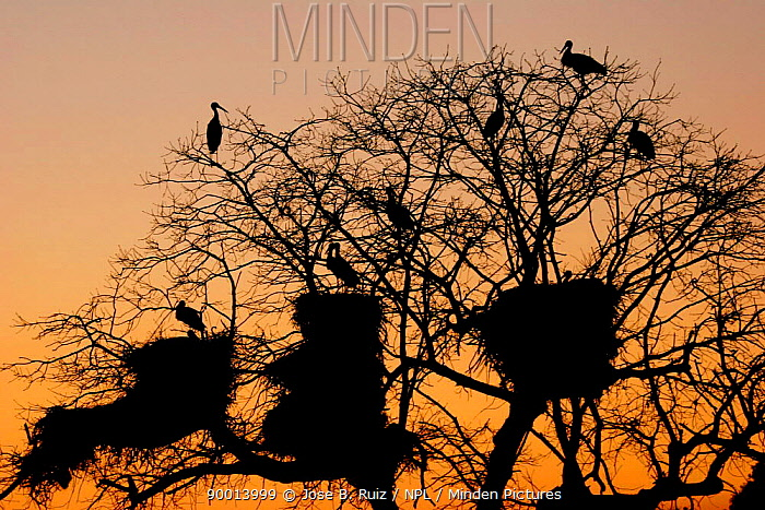 White Stork (Ciconia ciconia) silhouette and nests in tree at sunrise, Spain  -  Jose B. Ruiz/ npl
