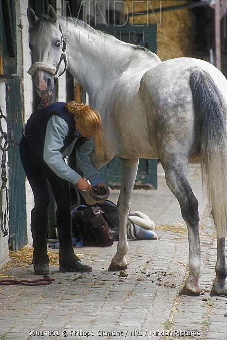 Cleaning hoof of horse in stable (Equus caballus) Belgium  -  Philippe Clement/ npl