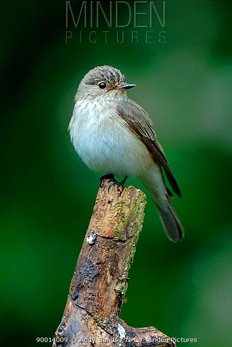 Spotted Flycatcher (Muscicapa striata) perching on dead branch looking for insects, West Sussex, England  -  Andy Sands/ npl