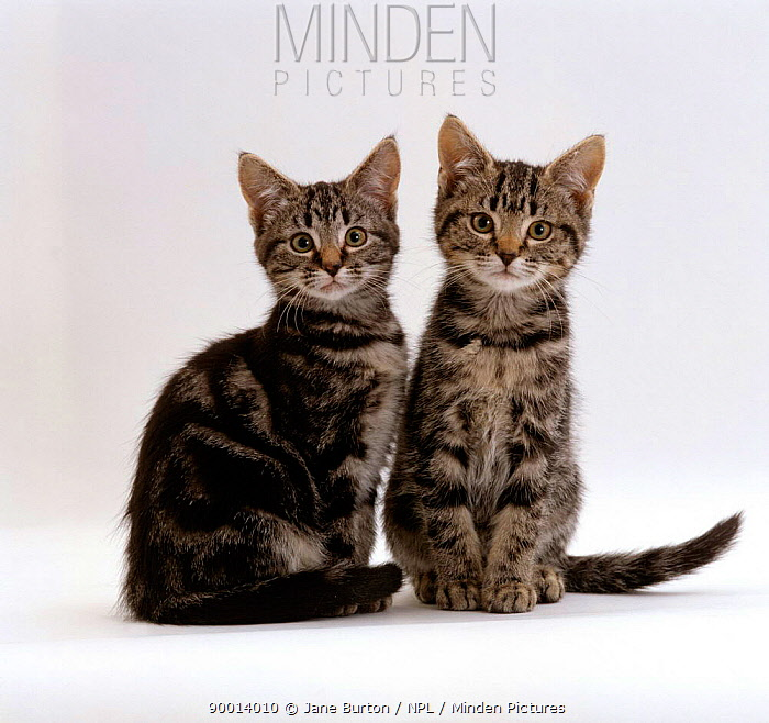 Domestic Cat (Felis catus) Two 8-week tabby kittens, male and female  -  Jane Burton/ npl