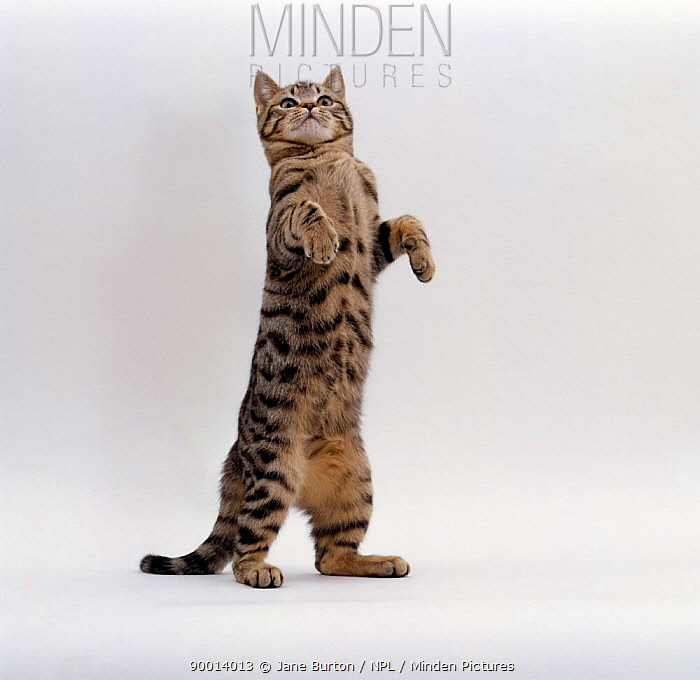 Domestic Cat (Felis catus) Brown spotted tabby 'Lowlander' standing on rear legs  -  Jane Burton/ npl