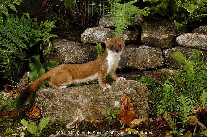 Short-tailed Weasel (Mustela erminea) on stone wall, Captive, United Kingdom  -  Andy Sands/ npl
