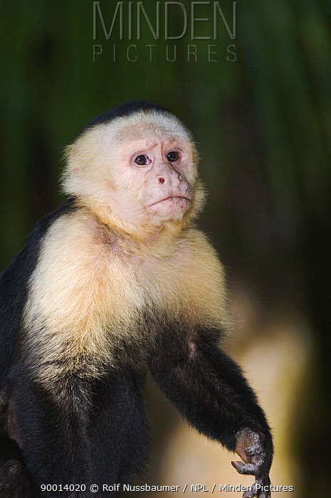 White-faced Capuchin (Cebus capucinus) Manuel Antonio National Park, Costa Rica  -  Rolf Nussbaumer/ npl