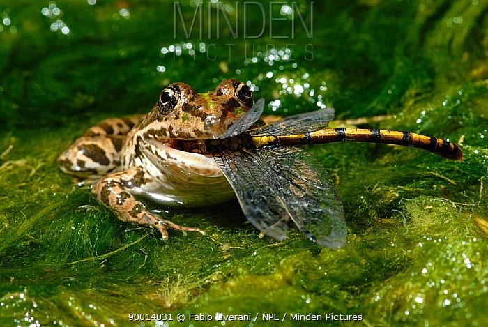 Edible Frog (Rana esculenta) eating a Green eyed hook tailed dragonfly (Onychogomphus forcupatus) amongst pond weed, Grigne Mountains, Lombardia Region, Italy  -  Fabio Liverani/ npl