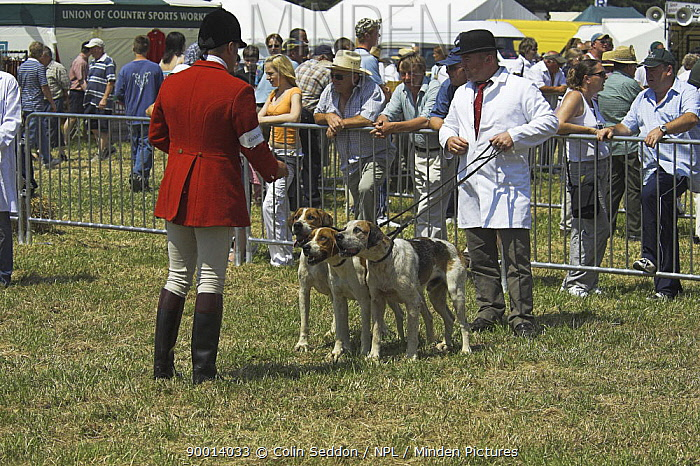 Welsh Foxhounds being inspected by judges during showing class, Wales, UK  -  Colin Seddon/ npl