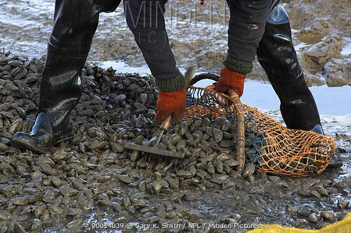 Blue Mussel (Mytilus edulis) being hand graded on saltmarsh, North Norfolk, England, United Kingdom  -  Gary K. Smith/ npl