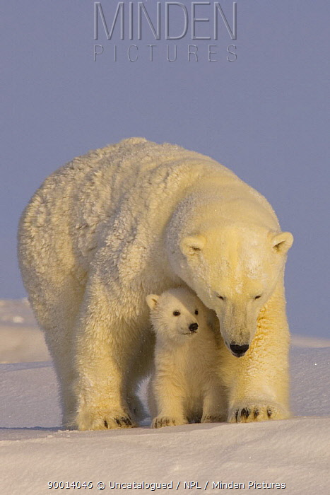 Polar Bear (Ursus maritimus)sow with newborn spring cubs newly emerged from their den, mouth of Canning River along the Arctic coast, eastern Arctic National Wildlife Refuge, Alaska  -  Steven Kazlowski/ npl