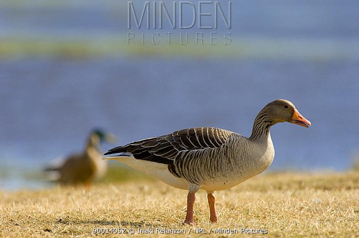 Greylag Goose (Anser anser), Lake Hornborgasj�n, Sweden  -  Inaki Relanzon/ npl