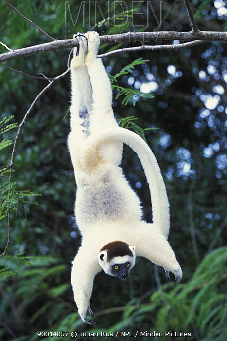 Verreaux's Sifaka (Propithecus verreauxi) hanging from branch, Nahampoana reserve, Madagascar South  -  Jouan & Rius/ npl