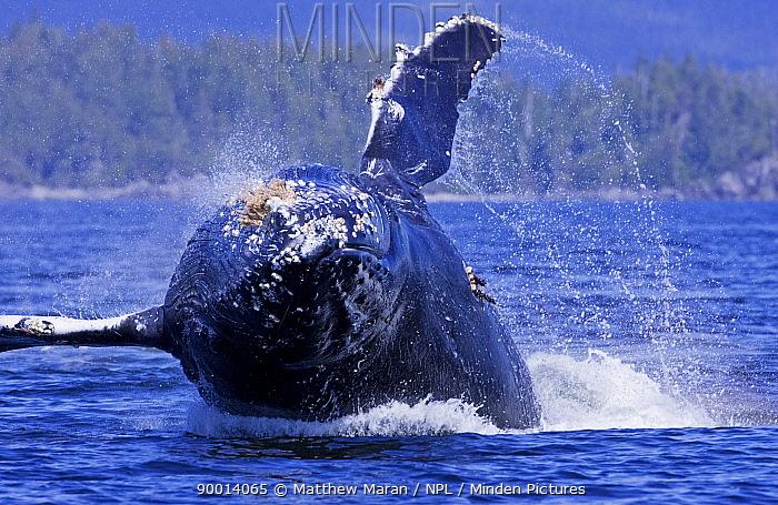 Humpback Whale (Megaptera novaeangliae) juvenile breaching, Barkley Sound, Vancouver Island, BC, Canada  -  Matthew Maran/ npl