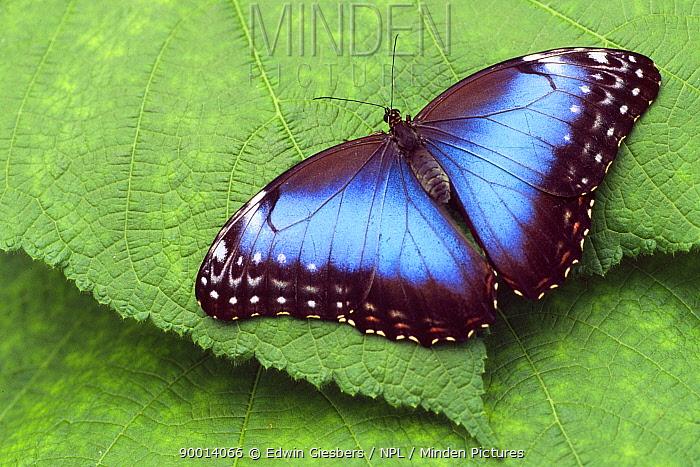 Blue Morpho (Morpho peleides) on leaf, Costa Rica  -  Edwin Giesbers/ npl
