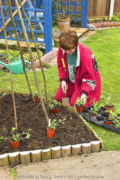 Planting out Sweet pea plants around a hazel stick wigwam, Norfolk, UK  -  Gary K. Smith/ npl