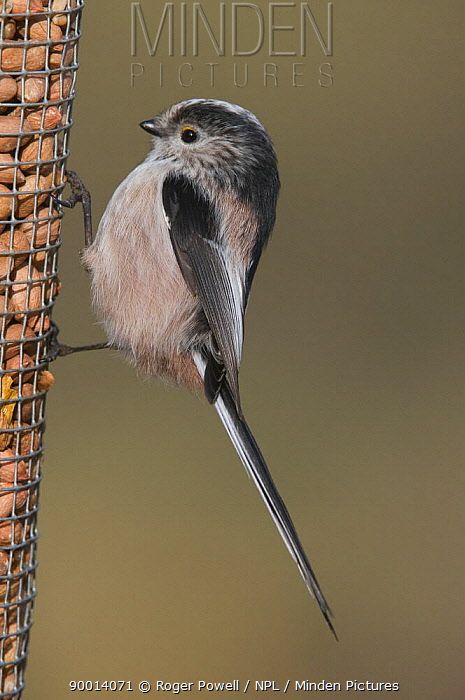 Long-tailed Tit (Aegithalos caudatus) feeding on peanut feeder, Northumberland, United Kingdom  -  Roger Powell/ npl