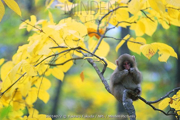 Japanese Macaque (Macaca fuscata) young monkey amongst autumn foliage, Jigokudani, Nagano, Japan  -  Yukihiro Fukuda/ npl