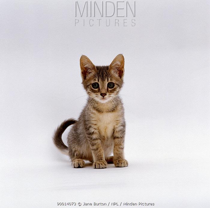 Domestic Cat (Felis catus)Blue tabby kitten, sitting  -  Jane Burton/ npl