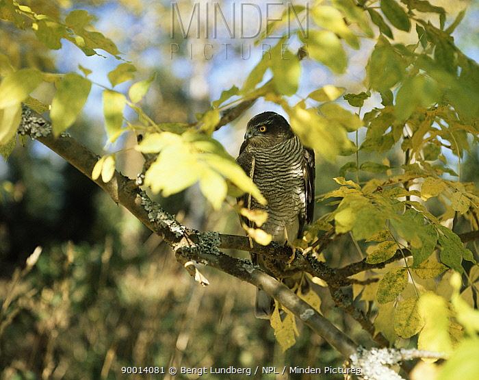 Eurasian Sparrowhawk (Accipiter nisus) perched in tree, Sweden  -  Bengt Lundberg/ npl