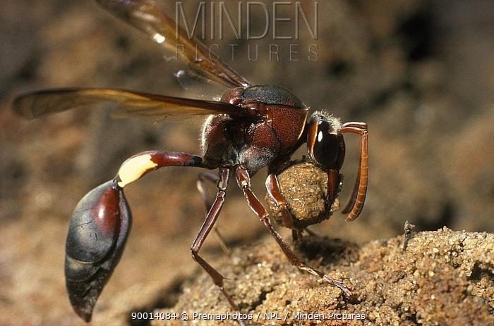 Female mud dauber wasp (Eumenes fenestralis) collects mud SAf  -  Premaphotos/ npl