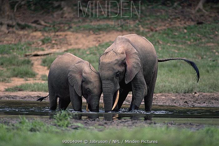 African Elephant (Loxodonta africana) pair at mineral lick Obandas Bai, forest clearing, Democratic Republic of Congo  -  Jabruson/ npl