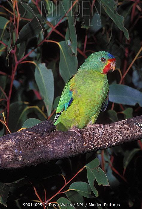 Swift Parrot (Lathamus discolor) Tasmania, Australia  -  Dave Watts/ npl