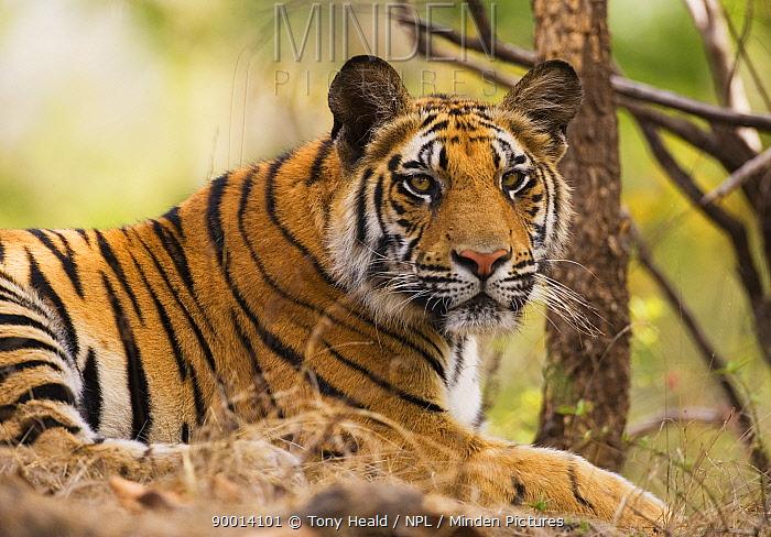 Bengal Tiger (Panthera tigris tigris) resting, Bandhavgarh National Park, India  -  Tony Heald/ npl