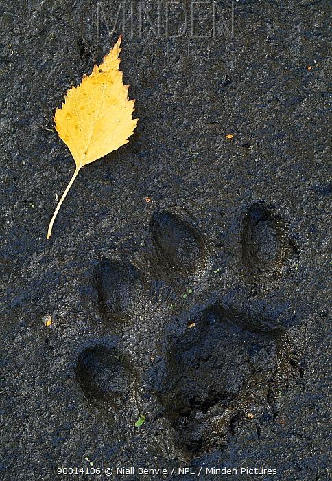 Eurasian Lynx (Lynx lynx) footprint in mud, with birch leaf, Sumava National Park, Bohemia, Czech Republic  -  Niall Benvie/ npl