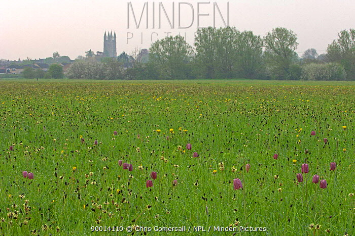 Checkered Lily (Fritillaria meleagris) in flower, North Meadow National Nature Reserve, Wiltshire, United Kingdom  -  Chris Gomersall/ npl