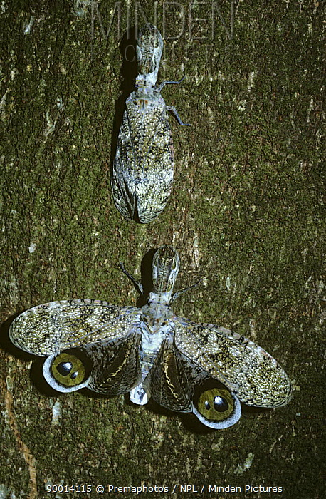 Lantern Bug (Fulgora laternaria) one camouflaged, the other with wings open in defensive 'startle display', on host tree in tropical dry forest, Costa Rica  -  Premaphotos/ npl