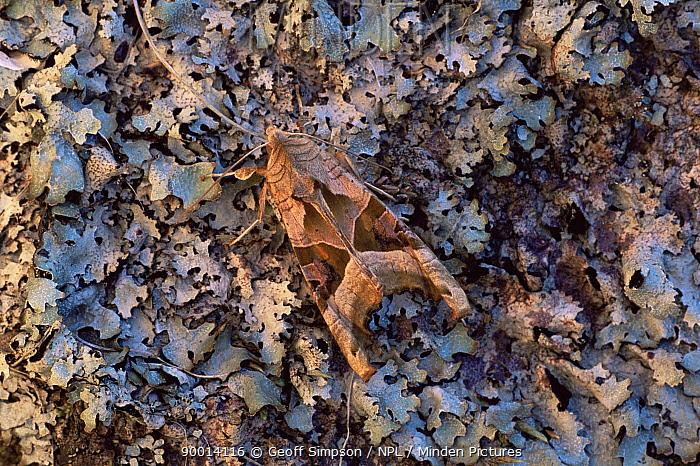 Angle Shades (Phlogophora meticulosa) on lichen, Peak District National Park, United Kingdom  -  Geoff Simpson/ npl
