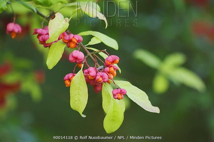 European Spindle (Euonymus europaeus) berries, seeds in autumn, Switzerland  -  Rolf Nussbaumer/ npl