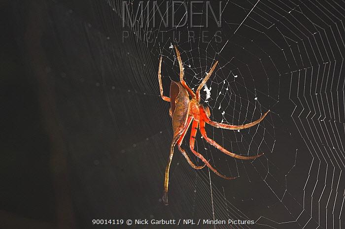 Tropical spider on web, Sabah, Borneo  -  Nick Garbutt/ npl