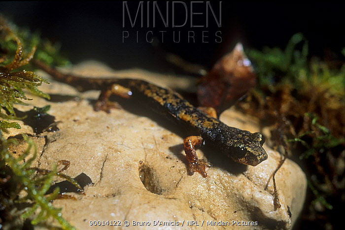 Italian cave salamander (Hydromantes, Speleomantes italicus), endemic to Italy, Northern Apennines, Italy  -  Bruno D'amicis/ npl