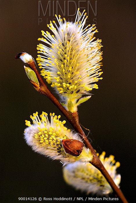 Goat Willow (Salix caprea) catkins, Cornwall United Kingdom  -  Ross Hoddinott/ npl