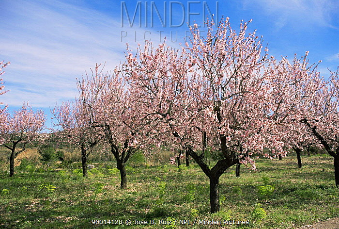 Almond (Prunus dulcis) Alicante, Spain  -  Jose B. Ruiz/ npl