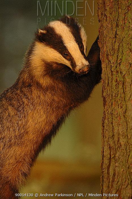 Eurasian Badger (Meles meles) scratching pine tree in evening light, Derbyshire, United Kingdom  -  Andrew Parkinson/ npl