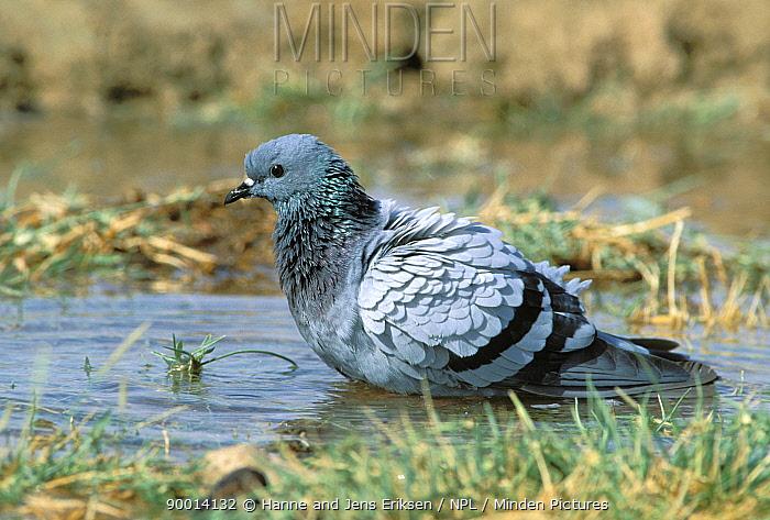 Rock Dove (Columba livia) bathing in pool of water, Dawkah, Oman  -  Hanne & Jens Eriksen/ npl