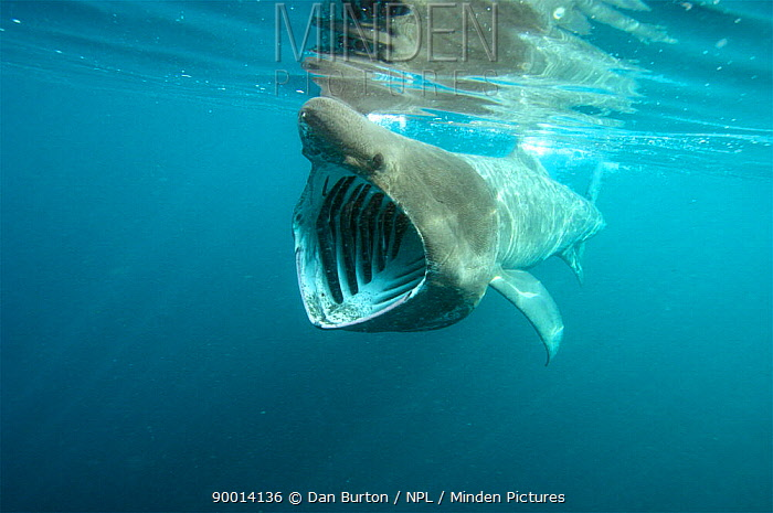 Basking Shark (Cetorhinus maximus) feeding, mouth open, United Kingdom  -  Dan Burton/ npl