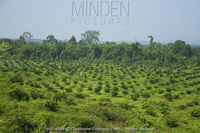 Palm tree oil plantation, with palms imported from South Africa Near the Kinabatangan River, Sabah, Malaysia In the back-ground, the last remains of the pristine rainforest  -  Christophe Courteau/ npl