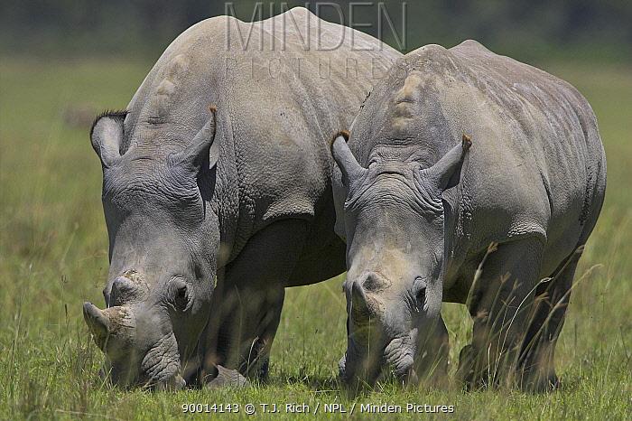 White Rhinoceros (Ceratotherium simum) pair, Lake Nakuru National Park,Kenya  -  T.J. Rich/ npl