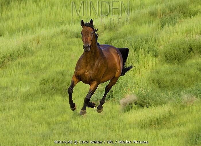 Bay Warmblood mare running in Longmont, Colorado  -  Carol Walker/ npl
