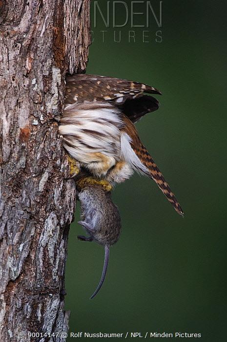 Ferruginous Pygmy Owl (Glaucidium brasilianum) adult taking mouse prey into nest hole, Rio Grande Valley, Texas  -  Rolf Nussbaumer/ npl