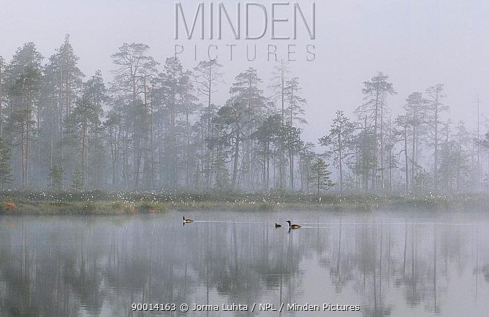 Red-throated-divers (Gavia stellata) on lake in fog, Finland  -  Jorma Luhta/ npl