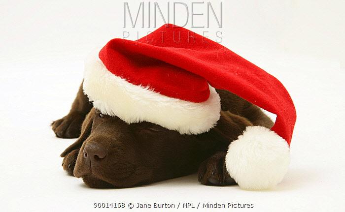 Chocolate Retriever puppy, Mocha, asleep wearing a Father Christmas hat  -  Jane Burton/ npl