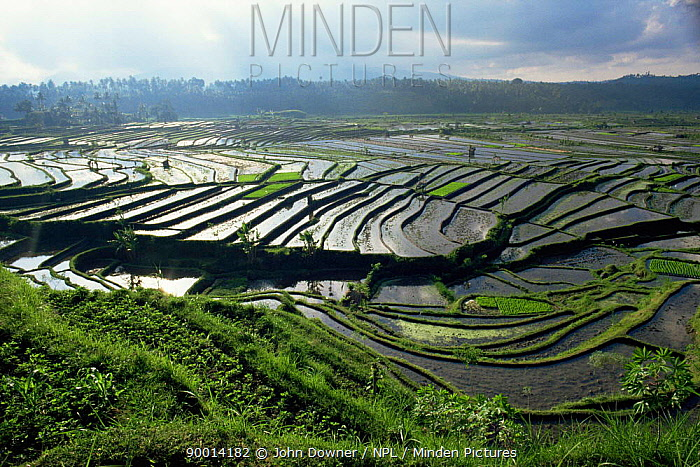 Rice Paddy fields in Bali, showing terracing Indonesia Traditional agriculture  -  John Downer/ npl