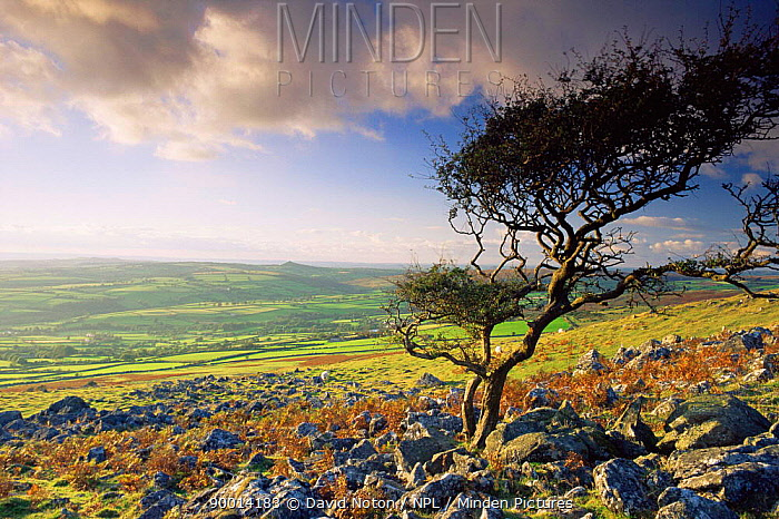 Dartmoor National Park moorland and tree bent by prevailing wind, near Tavistock, Devon, England  -  David Noton/ npl
