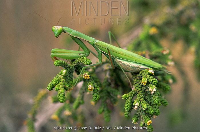 European Mantid (Mantis religiosa) female, Alicante, Spain  -  Jose B. Ruiz/ npl