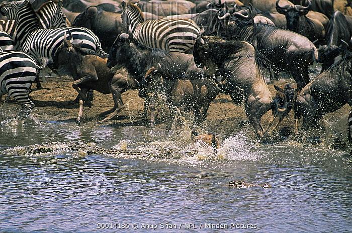 Nile Crocodile (Crocodylus niloticus) hunting Wildebeest Masai Mara, Kenya Sequence 4, 4  -  Anup Shah/ npl