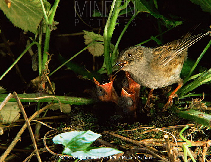 Dunnock (Prunella modularis) feeding chicks England  -  Jim Hallett/ npl